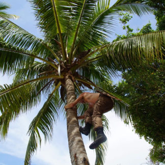 Climbing Coconut Palm on island in panama